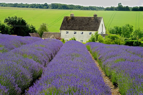 House with Rows of Lavender